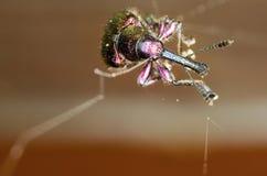 Deporaus betulae象鼻虫 图库摄影