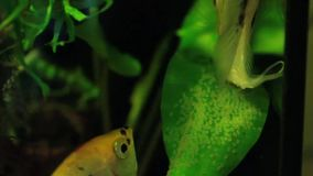 Deporree uova di Pterophyllum video d archivio