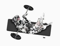 Deporte El perro va a hacer ejercicio con el peso Foto de archivo libre de regalías