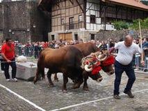 Deportes rurales vascos - probak de la IDI (pruebas de los bueyes) imágenes de archivo libres de regalías
