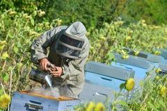 Depositário da abelha que trabalha com colmeia da abelha em um campo do girassol fotos de stock