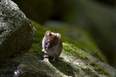 Deposite a ratazana em uma pedra, Vosges, França foto de stock royalty free