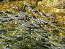 Deposizione delle uova dei salmoni in fiume Fotografie Stock Libere da Diritti