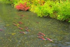 Deposizione delle uova dei salmoni rossi Fotografia Stock Libera da Diritti