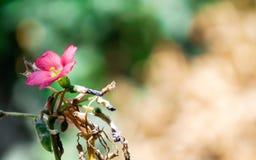 Deppei di Oxalis Fotografia Stock Libera da Diritti