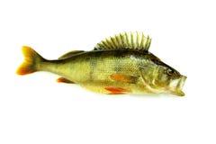 Depredador aislado pescados frescos de la perca Imágenes de archivo libres de regalías