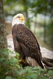 Depredador calvo americano de Eage de la fauna de LBird Foto de archivo
