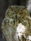 Depredador con alas Fotografía de archivo