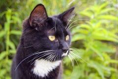 Depredador del gato negro Imagen de archivo libre de regalías