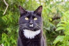 Depredador del gato negro Fotografía de archivo