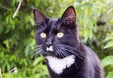 Depredador del gato negro Fotografía de archivo libre de regalías