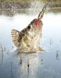 Depredador del río Fotografía de archivo
