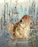 Depredador del río Imagen de archivo libre de regalías