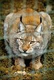 Depredador elegante del gato grande del lince Imagenes de archivo