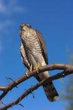 Depredador en el cielo Imagen de archivo libre de regalías