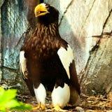 Depredador kartal del pájaro de Eagle fotos de archivo