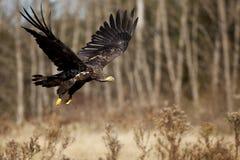 Depredador orgulloso en vuelo Imagenes de archivo