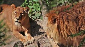 Depredadores en parque zoológico metrajes