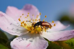 Depredator bug eating a petal Royalty Free Stock Photo