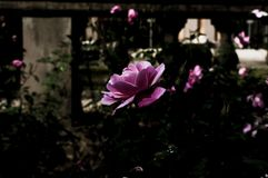 Depresja klucza kwiat fotografia royalty free