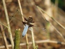 Depressa blu di Libellula della libellula di estate fotografie stock libere da diritti