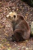 Depressed bear Stock Image