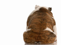 Depressed dog. Dog depression - english bulldog from the backside with reflection on white background royalty free stock image
