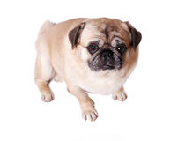 Depressed dog Royalty Free Stock Photos