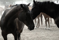 Depressed Horses Stock Photo