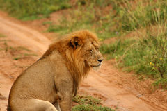 Depressed Lion with Eyes Closed. A male lion sits down with eyes closed looking depressed and sad Stock Photos