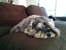 Depressed mini schnauzer. A miniature schnauzer sleeping on a couch pillow looking sad stock photography