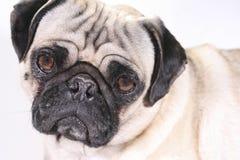 Free Depressed Pug Royalty Free Stock Photos - 3506318