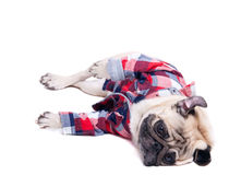 Depressed pug dog on the floor Royalty Free Stock Images