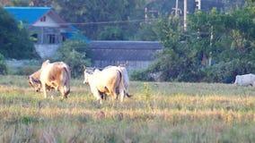 Depressione della passeggiata delle mucche il campo video d archivio