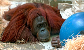 Depressive Orang Utan Stock Photos