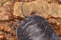 Depressum Armadillidium мокрицы Стоковое Изображение