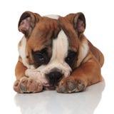 Deprimerad liggande brun engelsk loking för bulldogg som är ledsen och royaltyfri bild