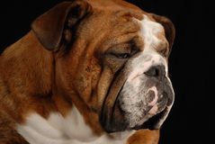 Deprimierte schauende Bulldogge Stockfotografie