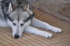 Deprimierter Hund   Stockbild