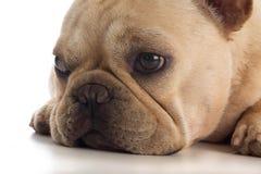 Deprimierter Hund Lizenzfreies Stockbild