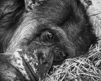 Deprimierter Schimpanse Stockbild