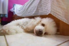 Deprimierter weißer Pudelhund Stockfotos