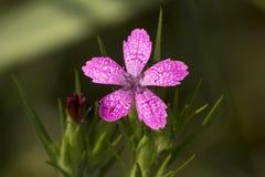 Deptford zacken Blume in den Feuchtwiesen an Belding-Konserve in Conne aus Lizenzfreies Stockfoto