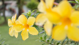 Depth of field Allamanda. Flower Royalty Free Stock Image