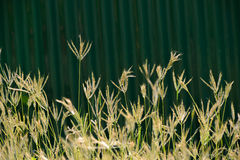 Depth of field the flower grass. Flower grass in the children playground Royalty Free Stock Images
