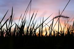 Depth of Field Photo of Grass Silhouette during Golden Hour Royalty Free Stock Images