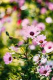 Depth of Field Photograph of Pink Petaled Flowers Royalty Free Stock Images