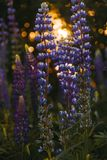 Depth of Field Photography of Grape Hyacinth stock photography