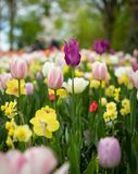 Depth of Field Photography of Tulip Flowers royalty free stock photography