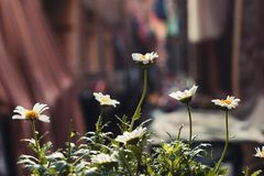Depth of Field Photography of White Daisy Flowers royalty free stock photography